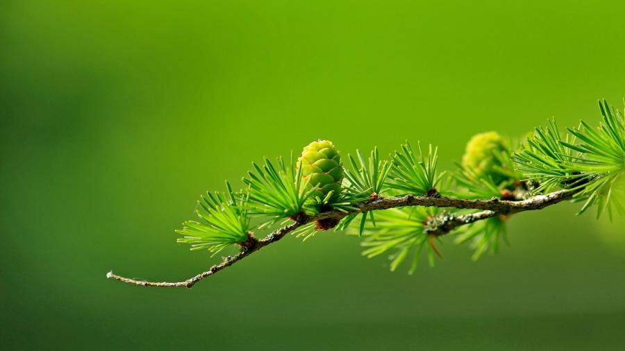 branch-conifer-green-40896-EDIT