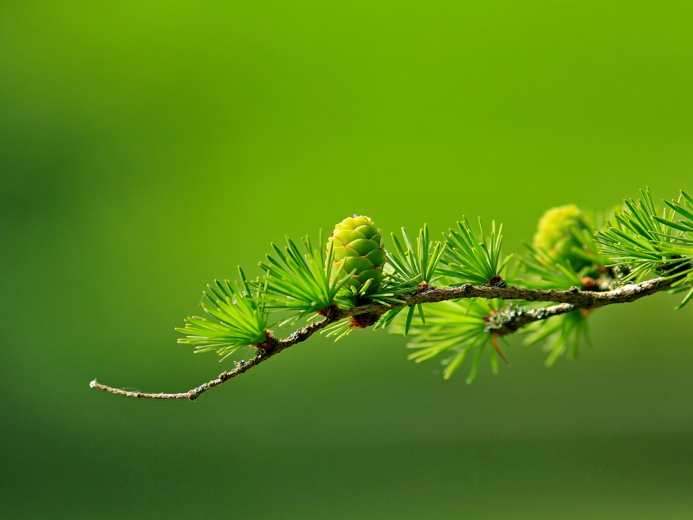 branch-conifer-green-40896-EDIT
